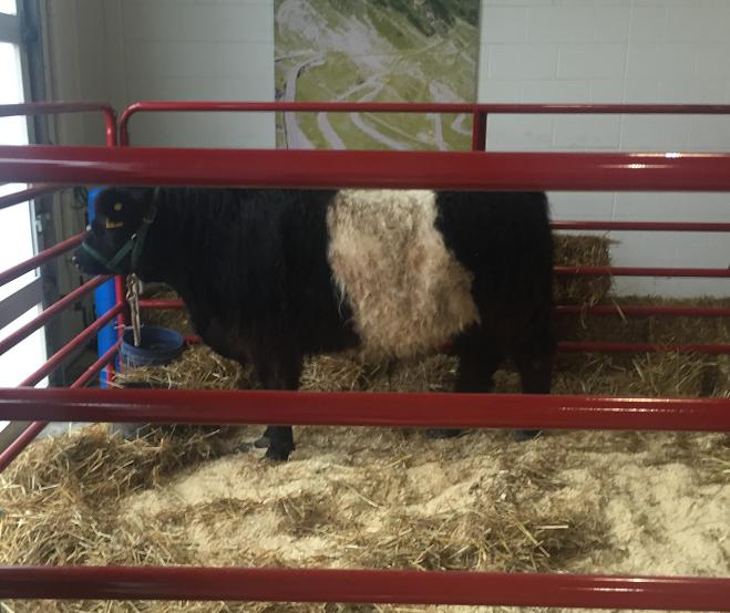 norwalk_cow